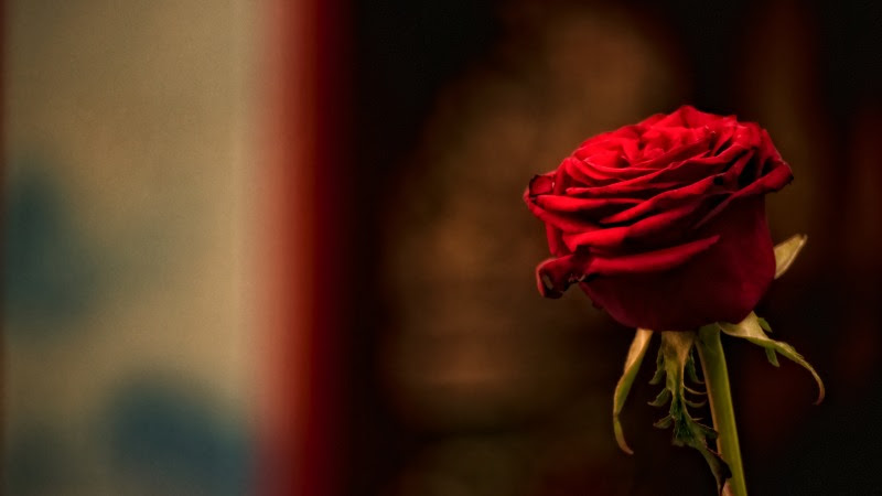 One Red Rose for a Romantic Gesture HD