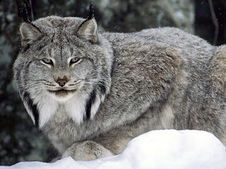 Lynx HD Wallpapers, canada lynx, snow lynx,