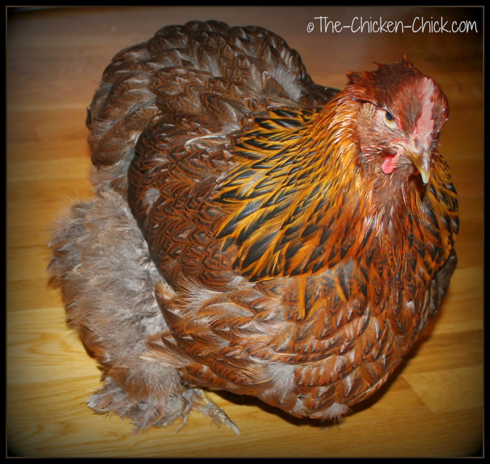 Bertha is a large fowl Cochin with smooth feathers.