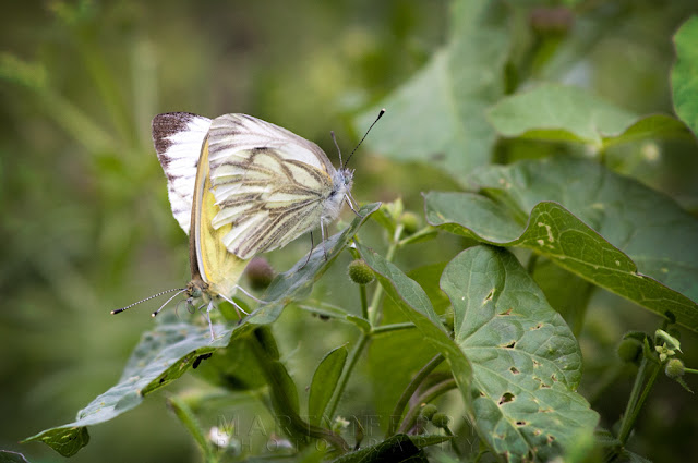 Two green veined white butterflies mate in this macro image taken at Fen Drayton