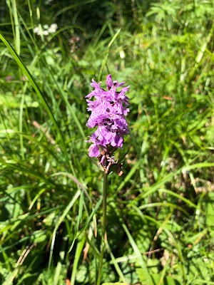 [Orchidaceae] Dactylorhiza maculata - Spotted Heath Orchid (Ochide macchiata).