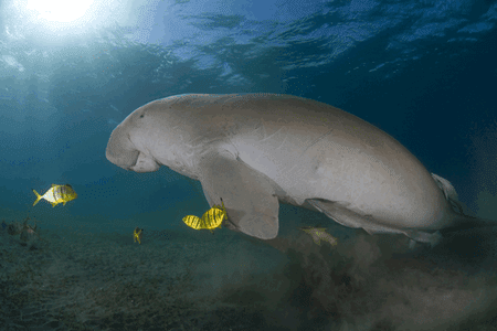 Dugong swimming in Queensland