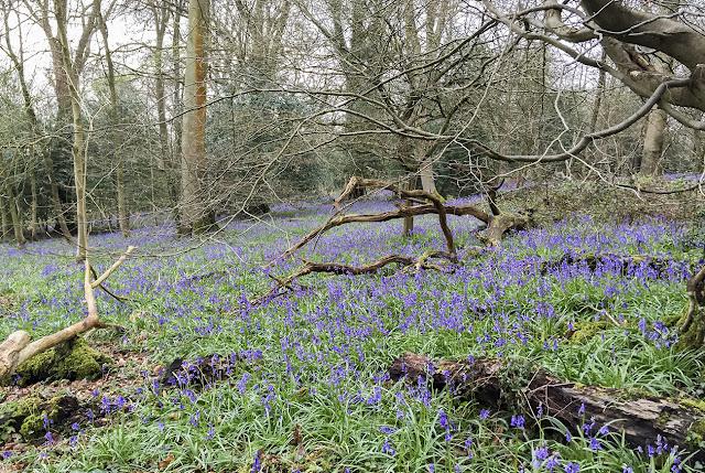 Bluebells in Hangrove Wood, Downe Bank.  Hyacinthoides non-scripta.  Asparagaceae.  16 April 2016.