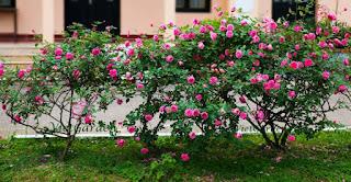hoa hong sapa