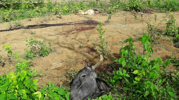 Lajes Pintadas: criminosos matam boi e furtam a carne na madrugada de hoje