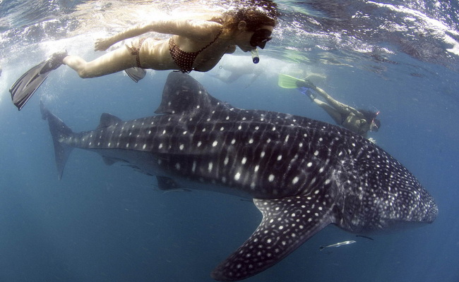 Xvlor.com Donsol is the best point to swim with whale sharks