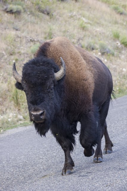 Lamar Valley Bison walks along Yellowstone's northeast entrance road