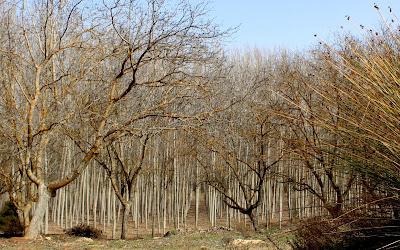 Bosque de álamos. Lagunas de Ruidera