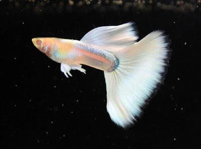 Ikan Guppy Albino Platinum