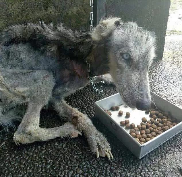 Guy Finds Abandoned Skin and Bones Husky And Helps It Recover