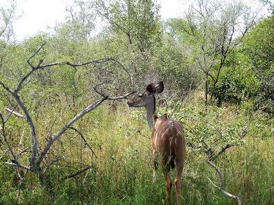 Kruger National Park IMPALA