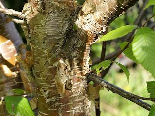 Bouleau jaune - Betula alleghaniensis