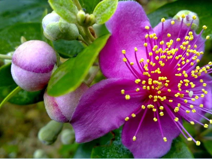 Hình ảnh hoa sim đẹp