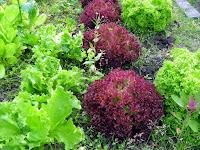 Der vegane Garten Salate peaceful gardening