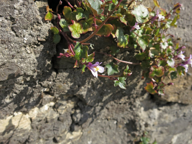 Ivy Leafed Toadflax growing in wall beside car park.