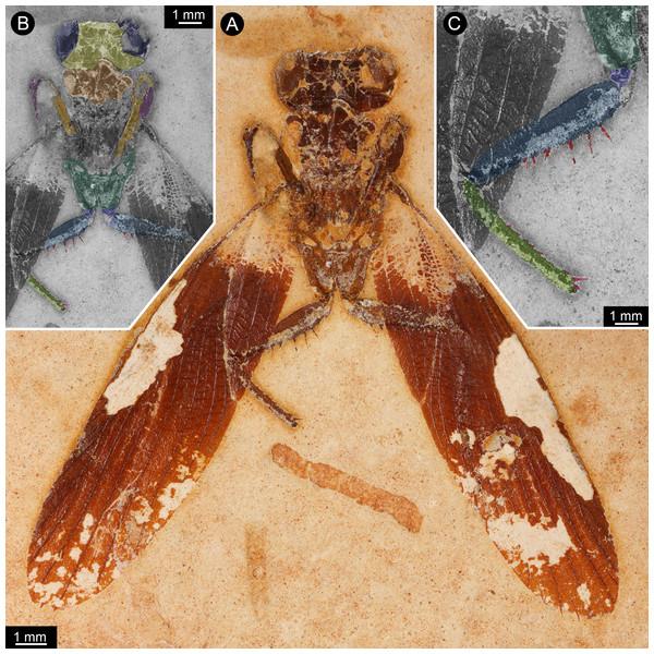 New specimen of Santanmantis axelrodi MB.I.2068.