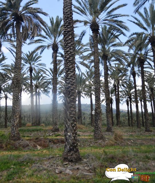 palm plantations מטעי תמרים