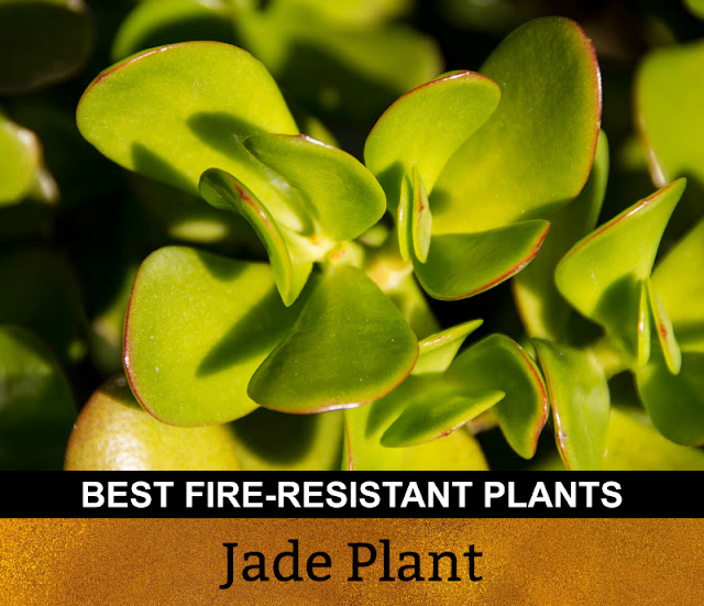 Best Fire Resistant Plants Jade Plant