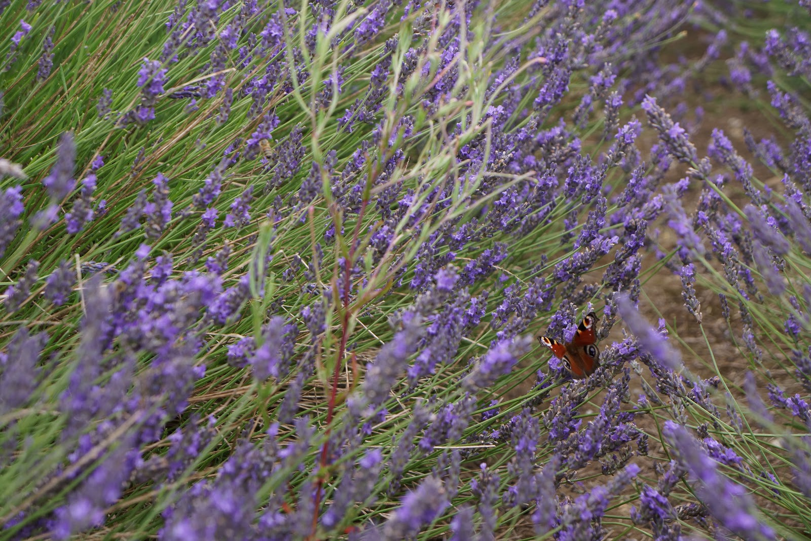 butterfly on a lavender flower bush