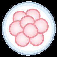 受精卵のイラスト4
