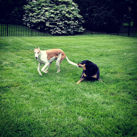 image of Dudley the Greyhound running around Zelda the Black and Tan Mutt in the yard