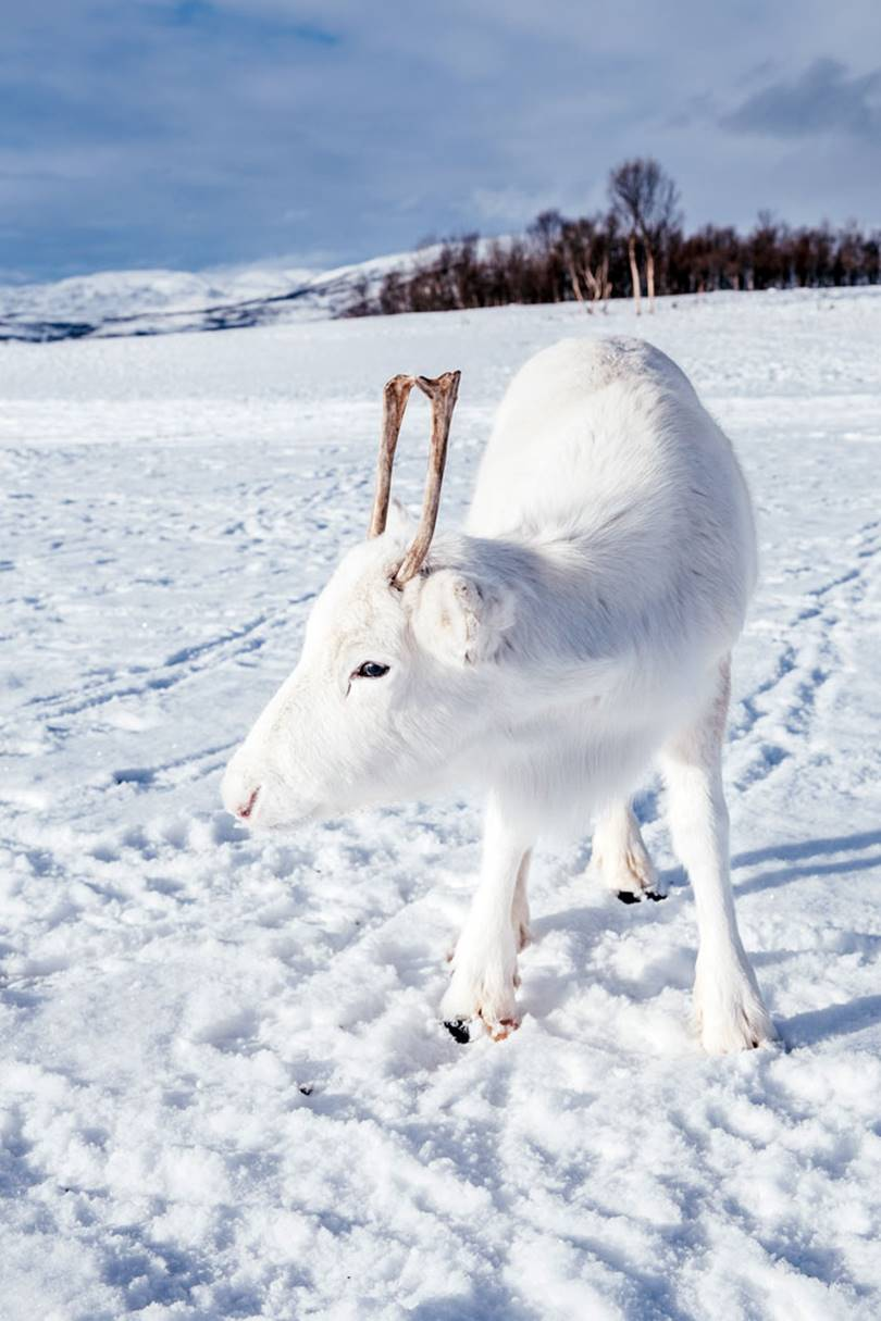 rare white fawn is captured by 24-year-old photographer Mads Nordsveen, he is from the Norwegian city of Oslo wandered through the mountains of Northern Norway