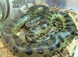 Anaconda hijau (29 kaki)