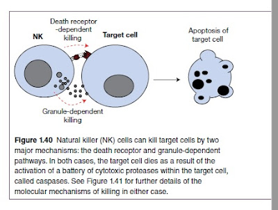 Natural killer (NK) cells can kill target cells by two major mechanisms: the death receptor and granule‐dependent pathways. In both cases, the target cell dies as a result of the activation of a battery of cytotoxic proteases within the target cell, called caspases. See Figure 1.41 for further details of the molecular mechanisms of killing in either case.