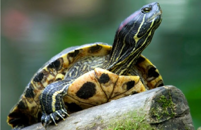 http://www.katasaya.net/2016/08/tips-pelihara-kura-kura-brazil-dengan-baik.html