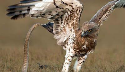 pertarungan elang vs ular