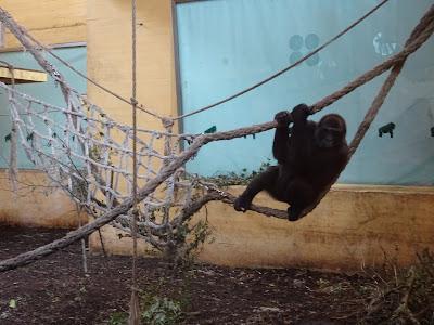 Gorilas Parque de la Naturaleza de Cabárceno, Santander