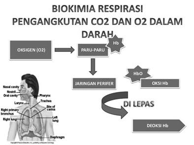Pengertian Respirasi / Pernapasan