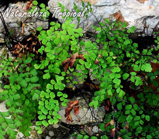 Fotografía del Helecho Culantrillo de Pozo creciendo en rocas, Adiantum tenerum