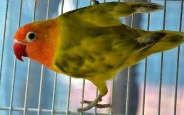 Cara Dan Tips Mengatasi Burung lovebird Agar Tidak Ngeruji Paling Akurat Yang Sudah Terbukti