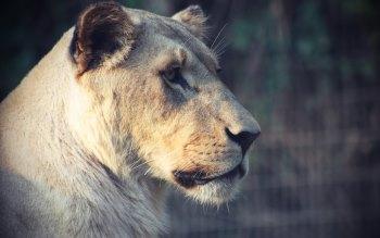 Wallpaper: Lioness Portrait