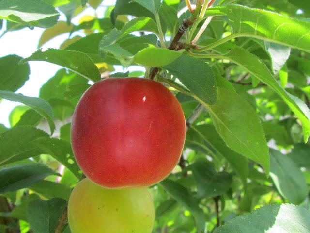 Frutti  biricoccolo o susinococco
