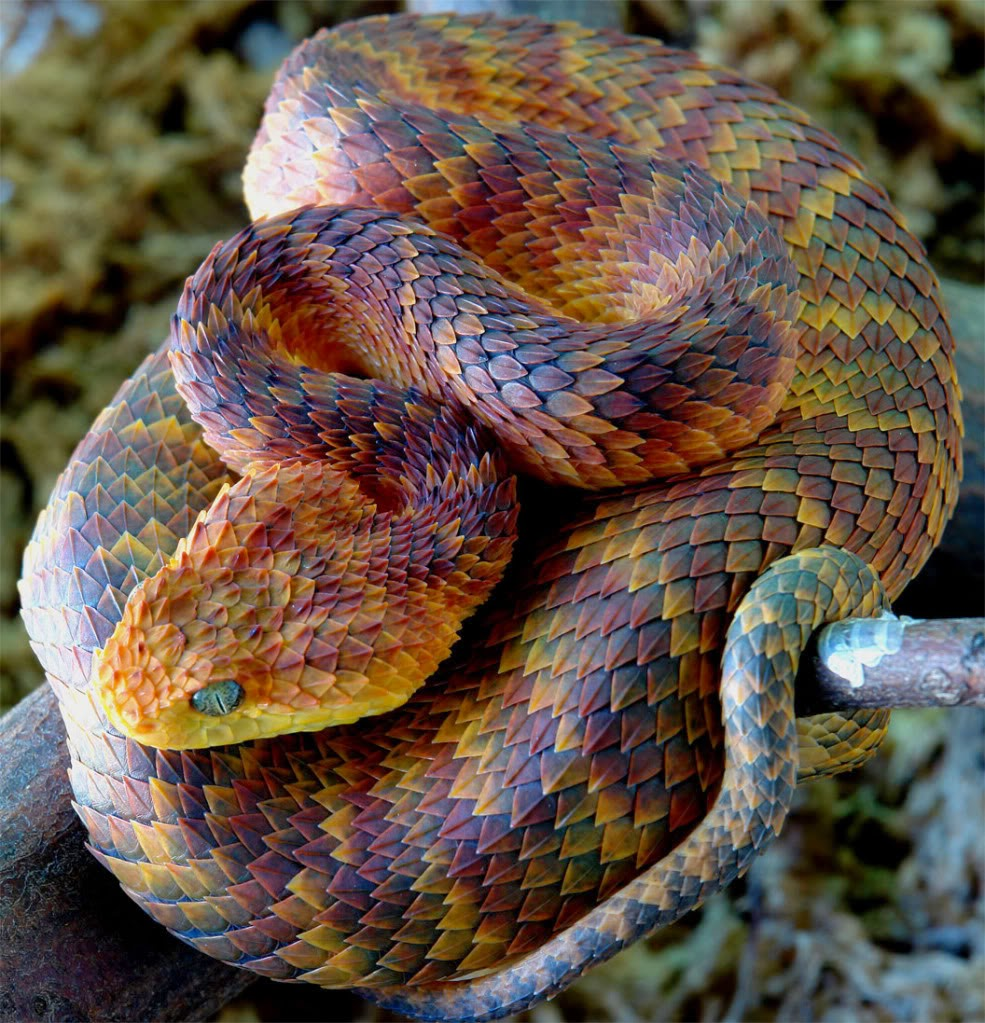 Atheris a mais linda de todas Bush víbora!