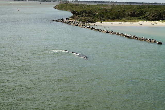A female right whale named 'Clipper' and her calf swim along the north bank of Sebastian Inlet on Feb. 9, 2016. The pair made 16 attempts to pass under the bridge before they finally succeeded. Photo credit: FWC