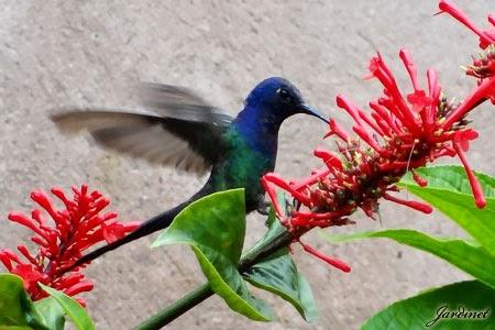 Plantas que atraem beija-flores