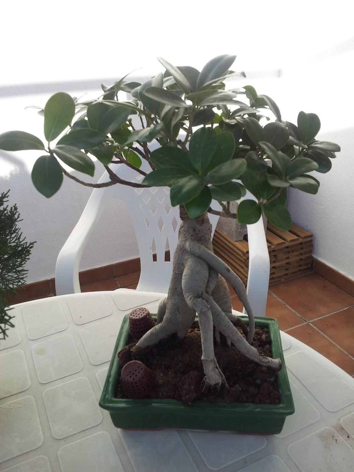 Empezando En El Bonsi Ficus Quotginsengquot