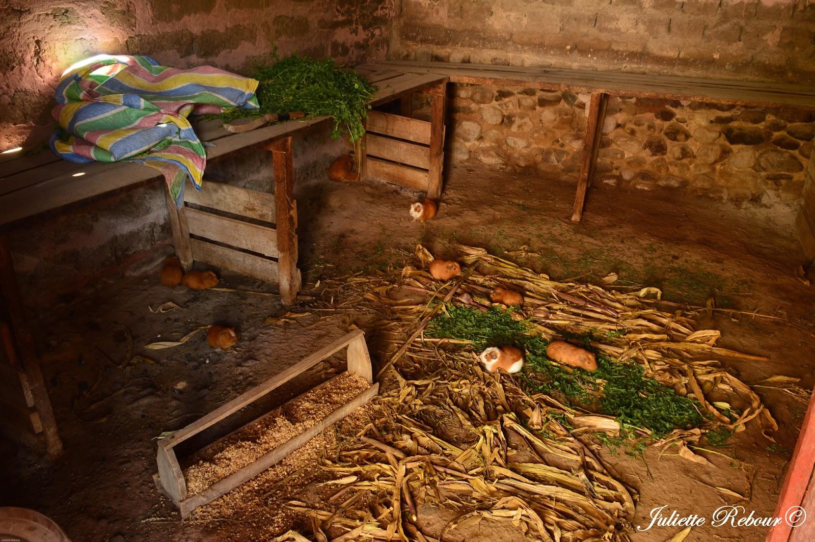 Cochons d'Inde au Pérou