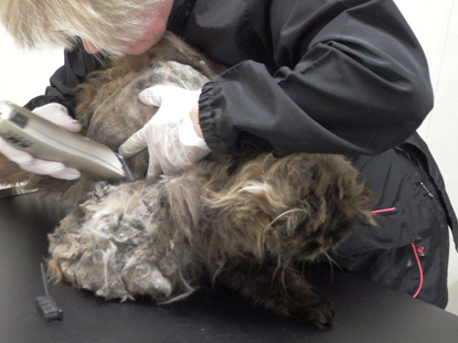 Matted cat fur coming away