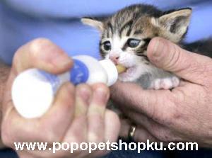 cara memberikan susu pada kucing - popopetshopku.com