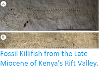 https://sciencythoughts.blogspot.com/2015/05/fossil-killifish-from-late-miocene-of.html
