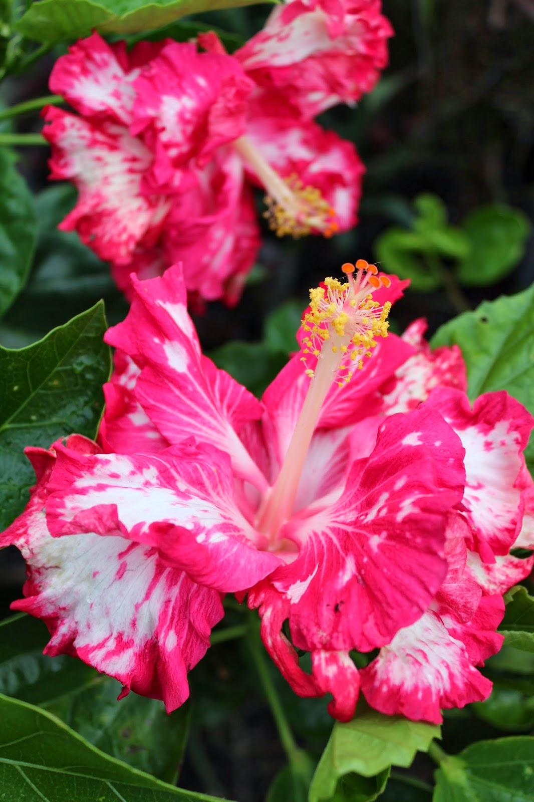 Florez Nursery: Hibiscus rosa-sinensis 'Elandem'