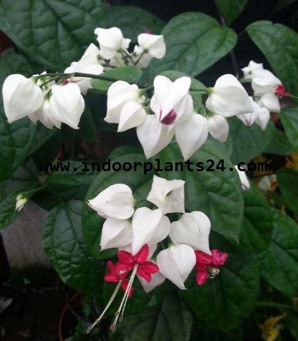 Clerodendrum Thomsoniae indoor plant pic