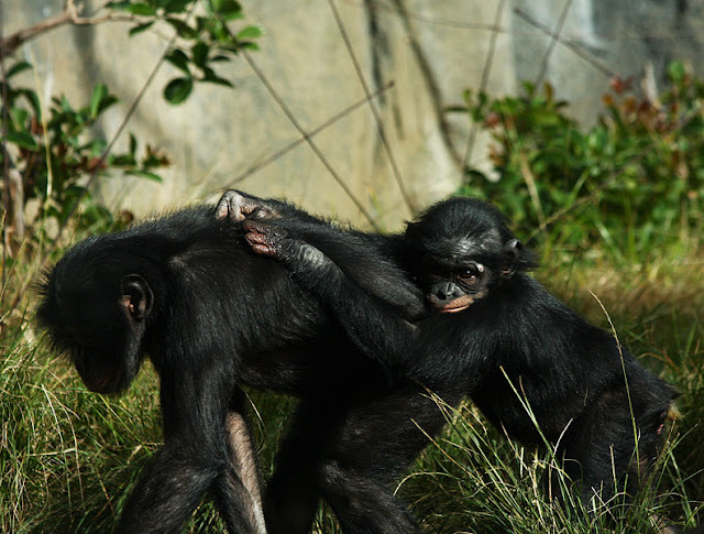 mother-chimpanzee-with-her-baby-My List Mag