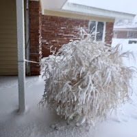 photo of snow covered tumbleweed at my Manor front porch