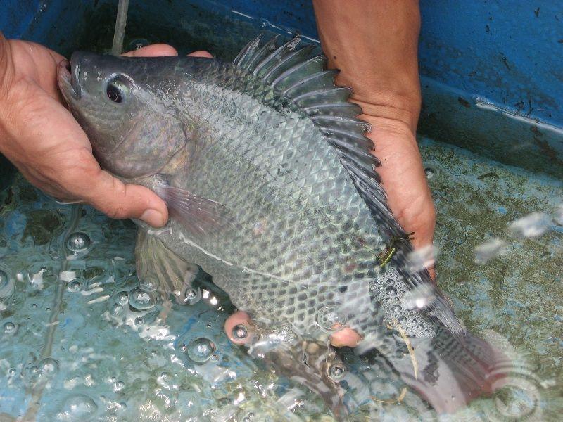 Pemeliharaan indukan ikan nila
