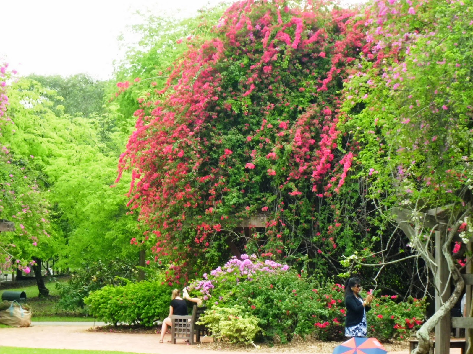 Flowering bougainvillea and other green plants.